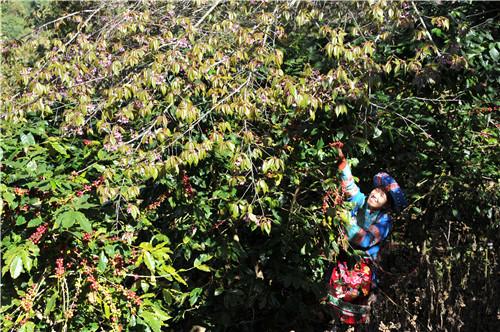 普洱绿色食品进京推介:搭建产销区共赢新平台,建全球精品咖啡生产区